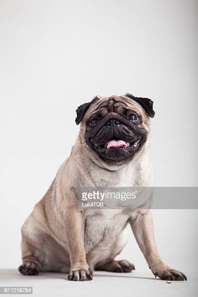 pug - ugly dog stock pictures, royalty-free photos & images