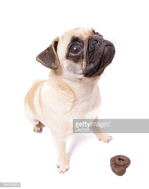 pug pooping dog poop stock photos and pictures getty images 1673