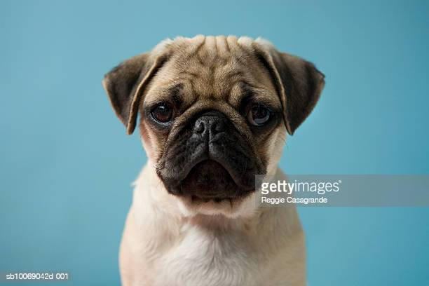 Pug puppy against blue background