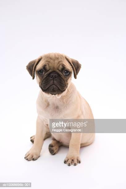 Pug puppy in studio
