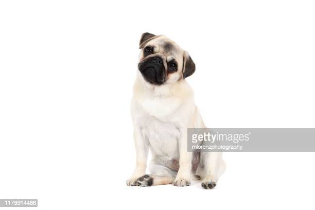 pug puppy on white background - female animal stock pictures, royalty-free photos & images