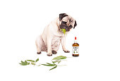 pug puppy pet dog eating weed, Cannabis sativa, leaves sitting next to dropper bottle of CBD oil for animals, isolated on white background