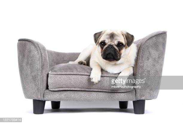 pug puppy - pet bed stock pictures, royalty-free photos & images