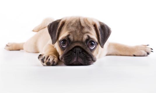 Pug puppy 160515874