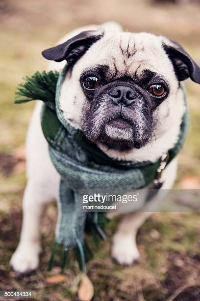 "pug ready for winter with a checked scarf outdoors. - ""martine doucet"" or martinedoucet bildbanksfoton och bilder"