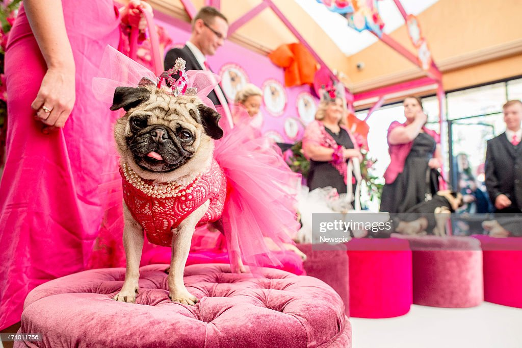 Pug Rescue and Adoption Victoria hold a wedding ceremony for