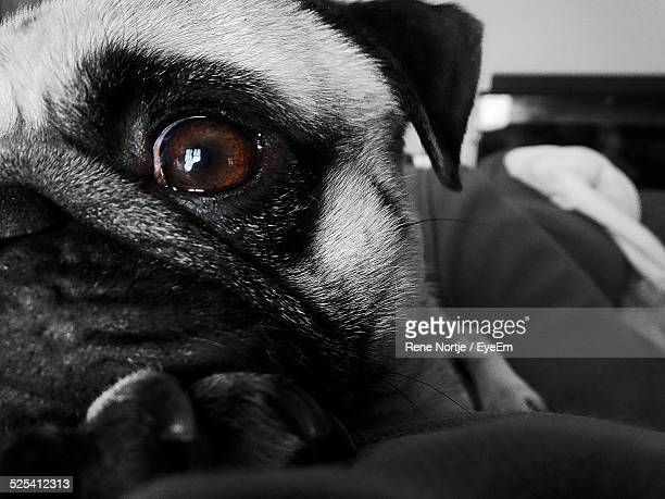 pug resting on sofa - domestic animals stock pictures, royalty-free photos & images