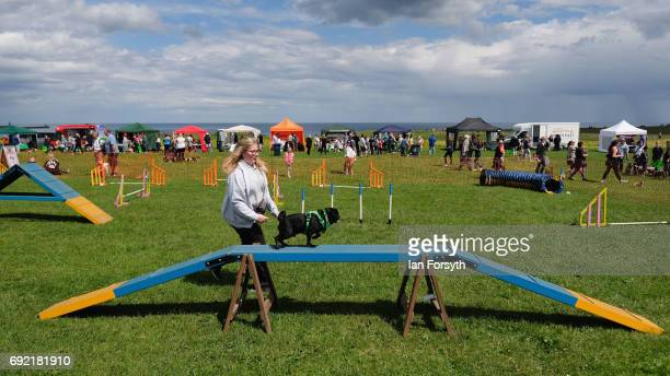 Pug runs over an obstacle during events at the Great North Dog Walk on June 4, 2017 in South Shields, England. Founded in 1990 by former teacher and...