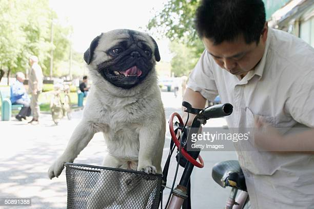 A pug sits in its owner's bicycle basket after getting a wash and brush up at a canine beauty parlour May 22 2004 in the Chinese capital Beijing The...