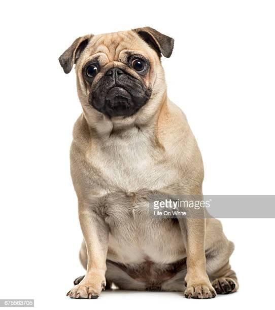 Pug sitting isolated on white