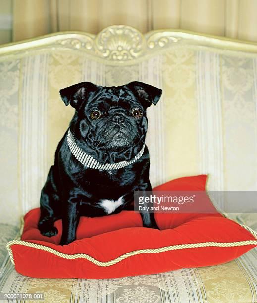 Pug sitting on red cushion, close-up