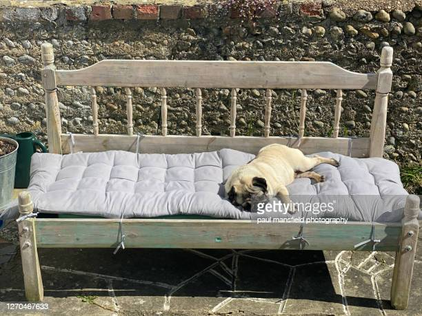 "pug sleeping - ""paul mansfield photography"" stock pictures, royalty-free photos & images"