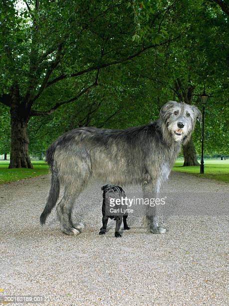 Pug standing under Irish wolfhound in park