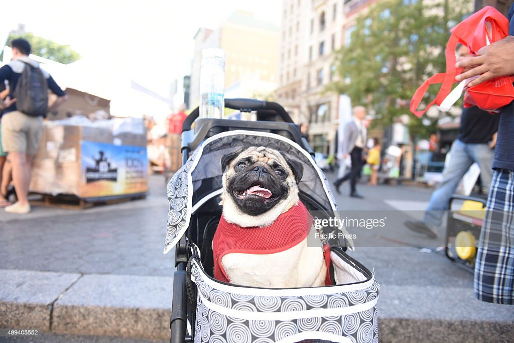 Pug tours adoption fair in baby carriage  Adoptapalooza in
