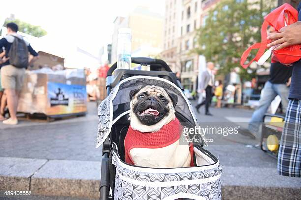 Pug tours adoption fair in baby carriage Adoptapalooza in Union Square Park brought numerous animal rescue organizations together under the big tent...
