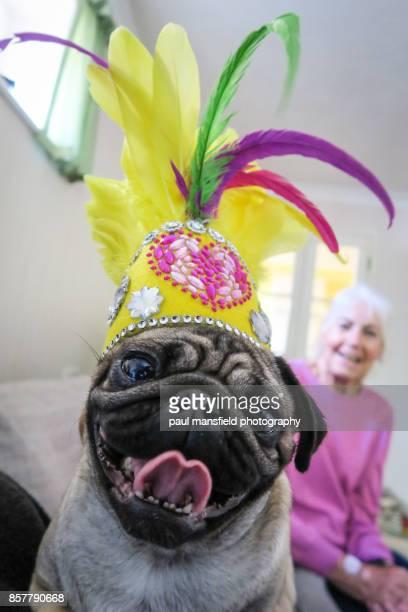 Pug wearing a carnival headdress