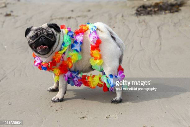pug with rainbow garland on beach - pride stock pictures, royalty-free photos & images