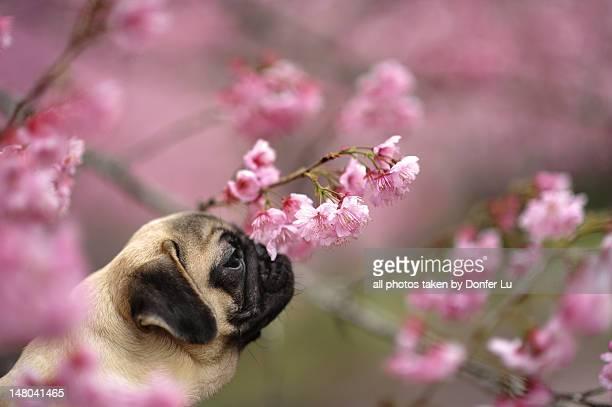 Pug with sakura