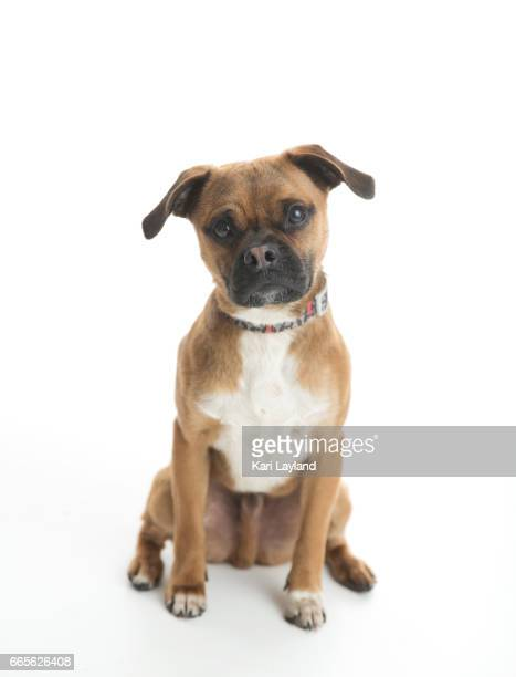 puggle boy - puggle stock pictures, royalty-free photos & images
