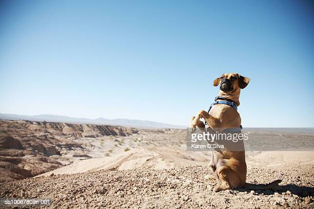 puggle dog in desert - puggle stock pictures, royalty-free photos & images
