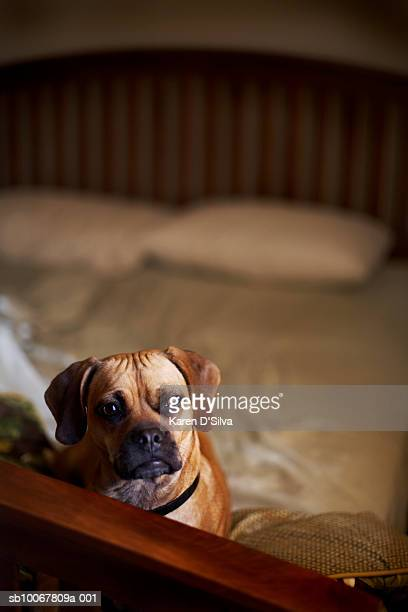 puggle dog on bed - puggle stock pictures, royalty-free photos & images