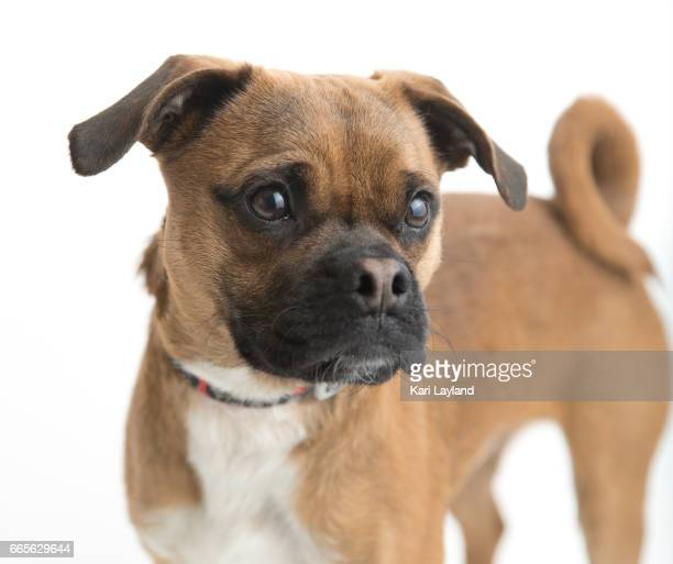 puggle dog - puggle stock pictures, royalty-free photos & images