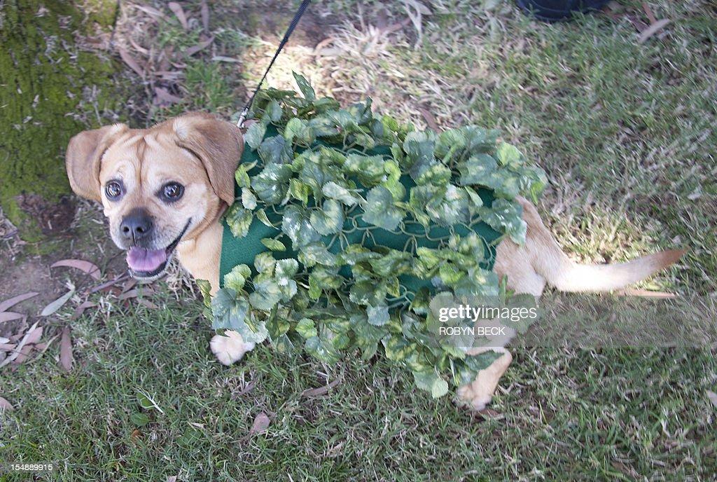 US-HALLOWEEN-DOG-COSTUMES : News Photo