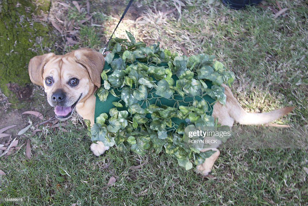 A Puggle (pug and beagle mix) dressed as a Chia Pet marches in a Halloween dog costume parade and contest in Long Beach, California, October 28, 2012. AFP PHOTO / Robyn Beck