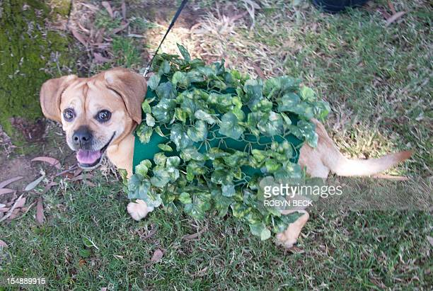 Puggle dressed as a Chia Pet marches in a Halloween dog costume parade and contest in Long Beach, California, October 28, 2012. AFP PHOTO / Robyn Beck