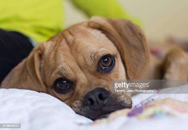 puggle face - パグル犬 ストックフォトと画像