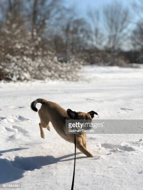 puggle in the snow - puggle stock pictures, royalty-free photos & images