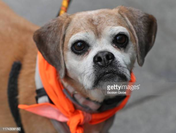 Puggle mix named Lily takes part in the event as Ernst & Young works with Second Chance animal services to try and find new homes for dogs rescued...