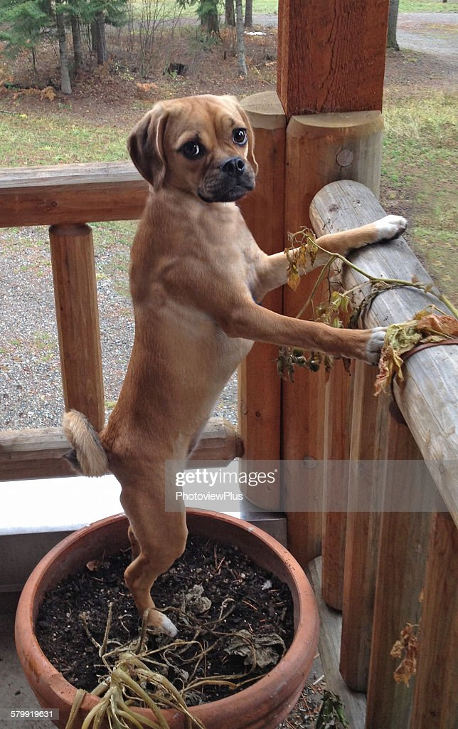 Puggle on squirrel patrol : Stock Photo