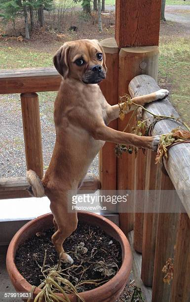 puggle on squirrel patrol - puggle stock pictures, royalty-free photos & images