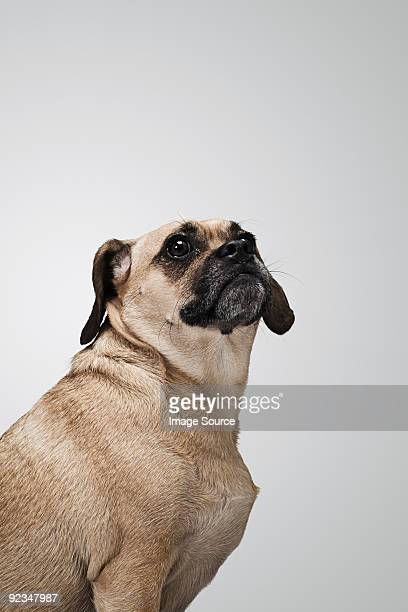 puggle - puggle stock pictures, royalty-free photos & images