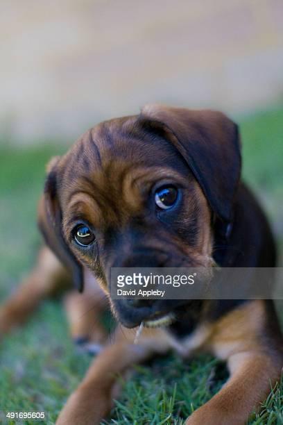 puggle puppy on lawn - puggle stockfoto's en -beelden