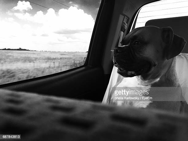 puggle sitting in car - puggle stock pictures, royalty-free photos & images