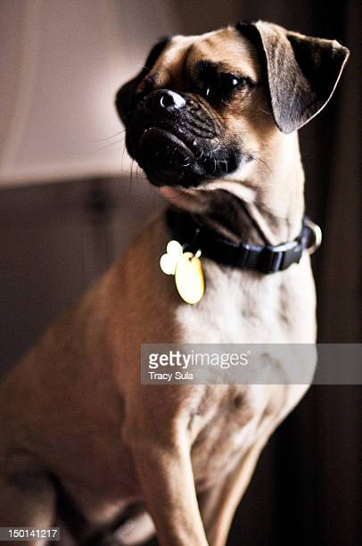 puggle standing confidently - puggle stock pictures, royalty-free photos & images