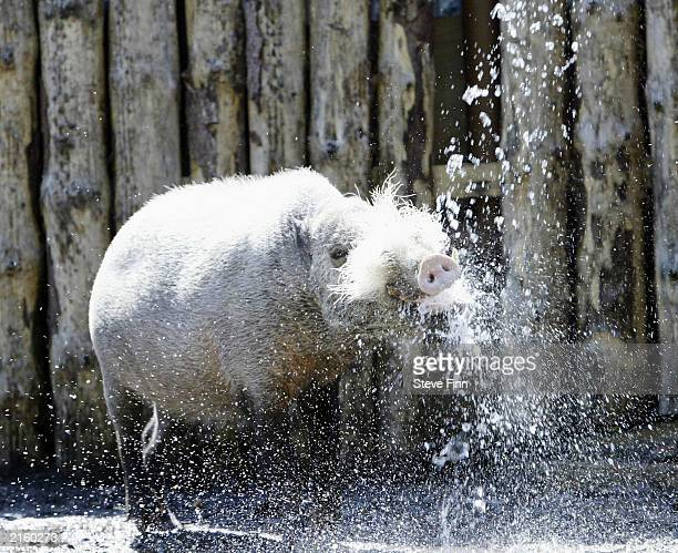 Pugli the bearded pig gets a shower in London Zoo July 14 2003 in London Tempratures over much of Great Britain have reached 30C as the country...