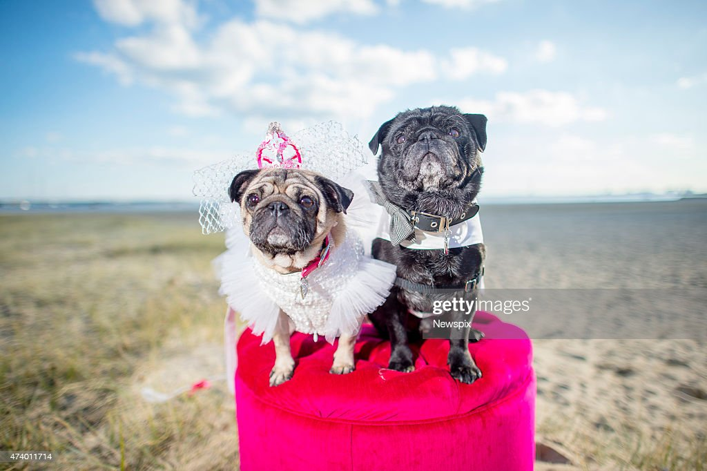 Pugs Jasper And Jasmine Marry In A Ceremony At The West Beach