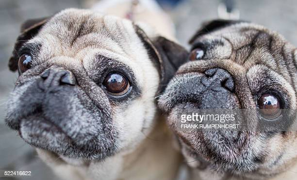 Pugs 'Rem' and 'Gonzo' wait with expectant glances for some treats from their mistress on April 19 2016 in Herborn western Germany / AFP / dpa /...