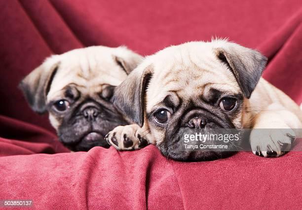 Pugs sitting on sofa