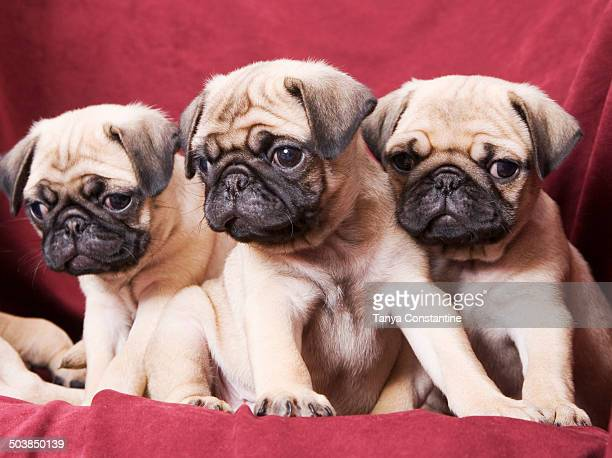 Pugs sitting on sofa