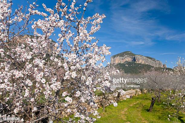 Puig de s'Alcadena, with almond tree (Prunus dulcis) in bloom in foreground.