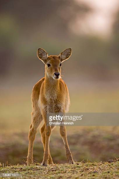 puku (kobus vardonii), south luangwa national park, zambia, africa - wildlife reserve stock pictures, royalty-free photos & images