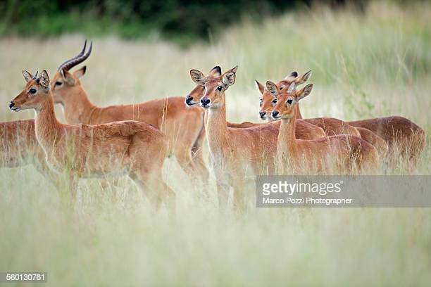 pukus - south luangwa national park stock pictures, royalty-free photos & images
