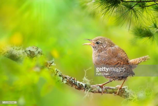 puli,taiwan - birdsong stock pictures, royalty-free photos & images