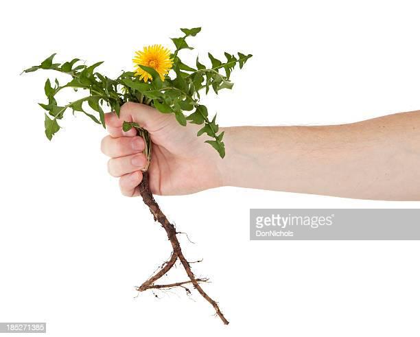 Pulling a Dandelion
