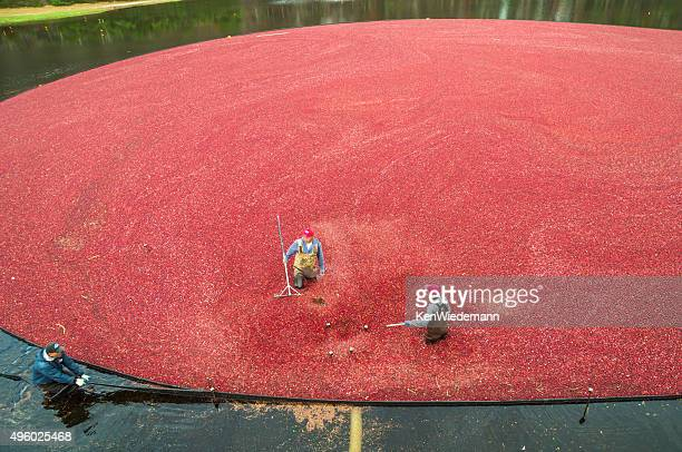 pulling on the boom - cranberry harvest stock pictures, royalty-free photos & images