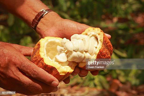 Pulling Open a Cacao Pod